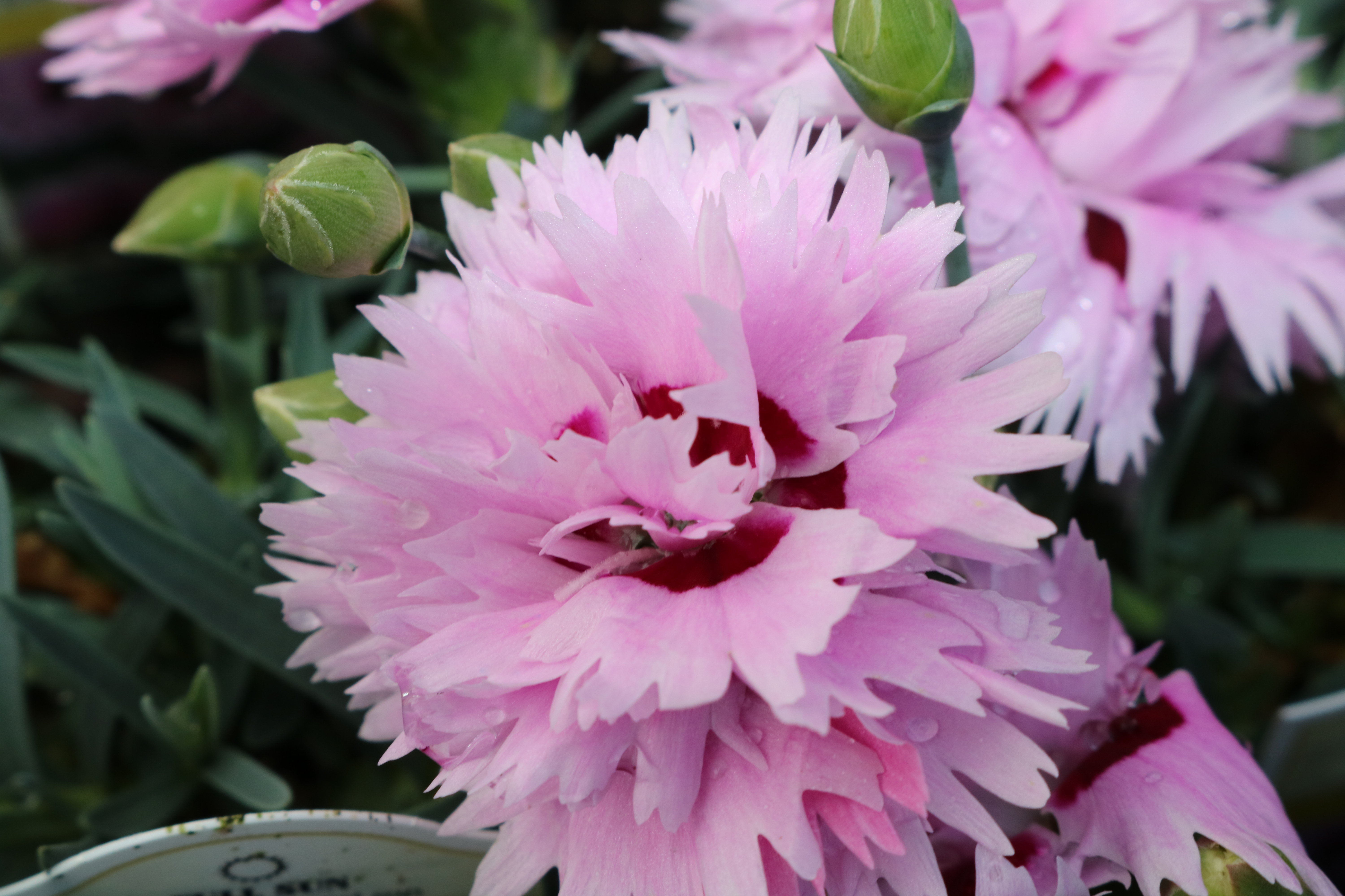 Dianthus hybrid Early Bird Series 'Fizzy' Pinks